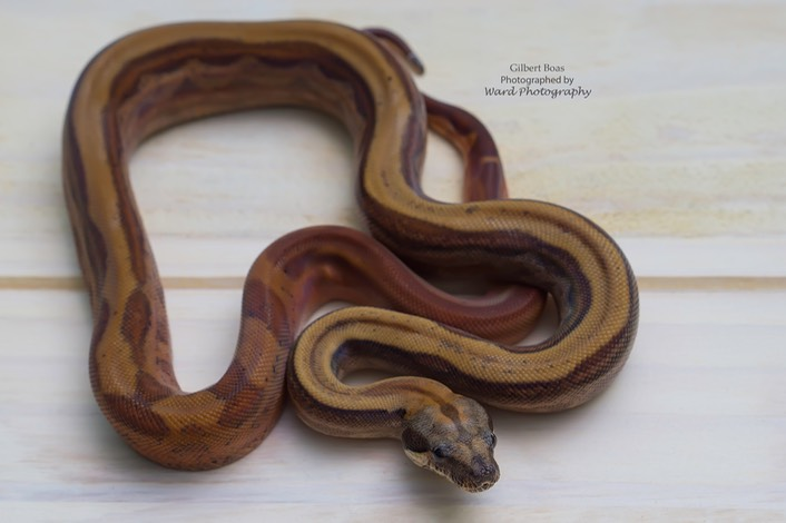 50 - HMB Hypo Motley Blood Male Watermark